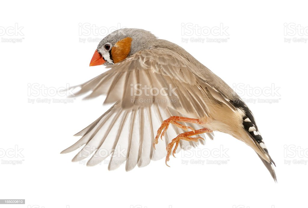 Zebra Finch flying, Taeniopygia guttata, against white background stock photo