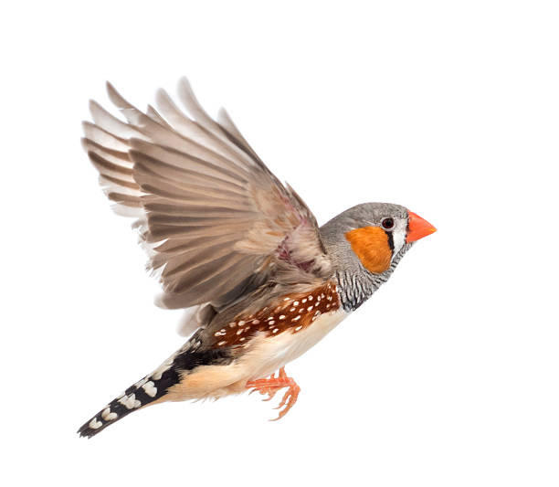 Zebra finch flying taeniopygia guttata against white background picture id483560077?b=1&k=6&m=483560077&s=612x612&w=0&h=k6mxwff vm3qs9zat3uv5vujd8zhehk9tgg9d6w2rk4=