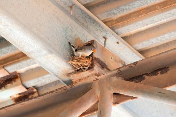 zebrafinken-nest - zebrafinken stock-fotos und bilder