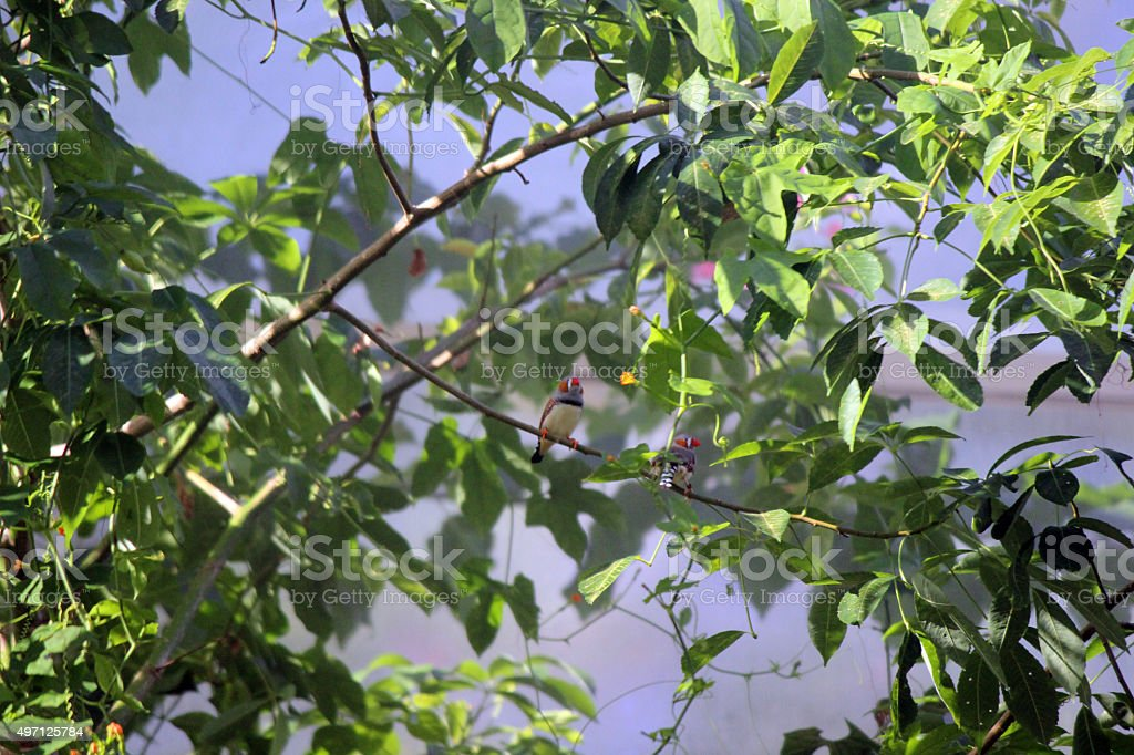 Zebra Finches Perched on Tree Branch stock photo