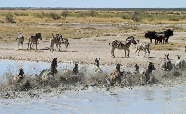 Zebra fleeing from water stock photo