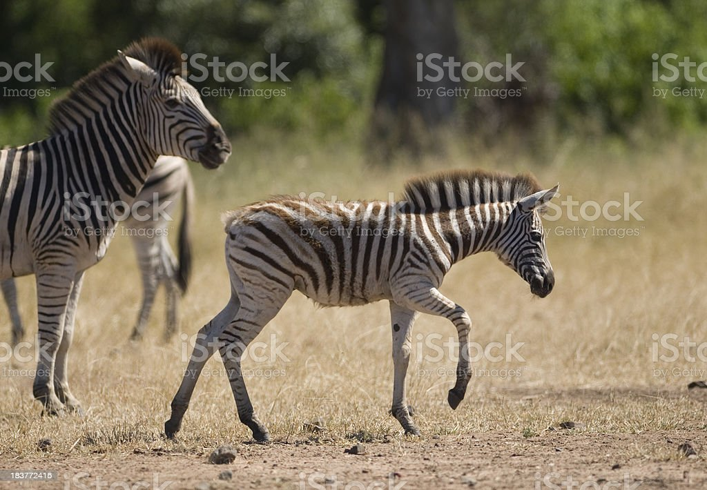 zebra foal and mother royalty-free stock photo