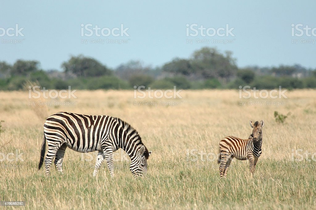 Zebra foal dark phenotype stock photo