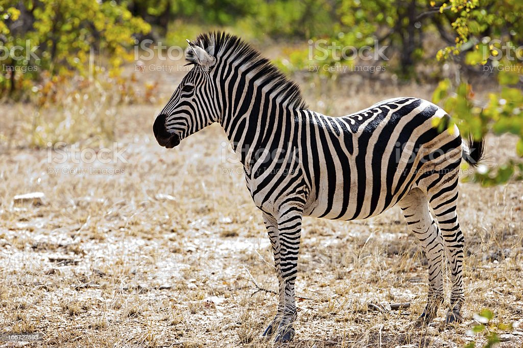 Zebra foal in Kruger National Park royalty-free stock photo