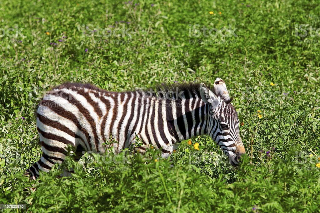 Zebra foal in the Ngorongoro Crater royalty-free stock photo