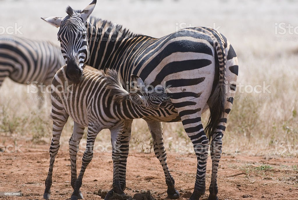 Zebra Foal (Equus quagga) Suckling, East Tsavo, Kenya royalty-free stock photo