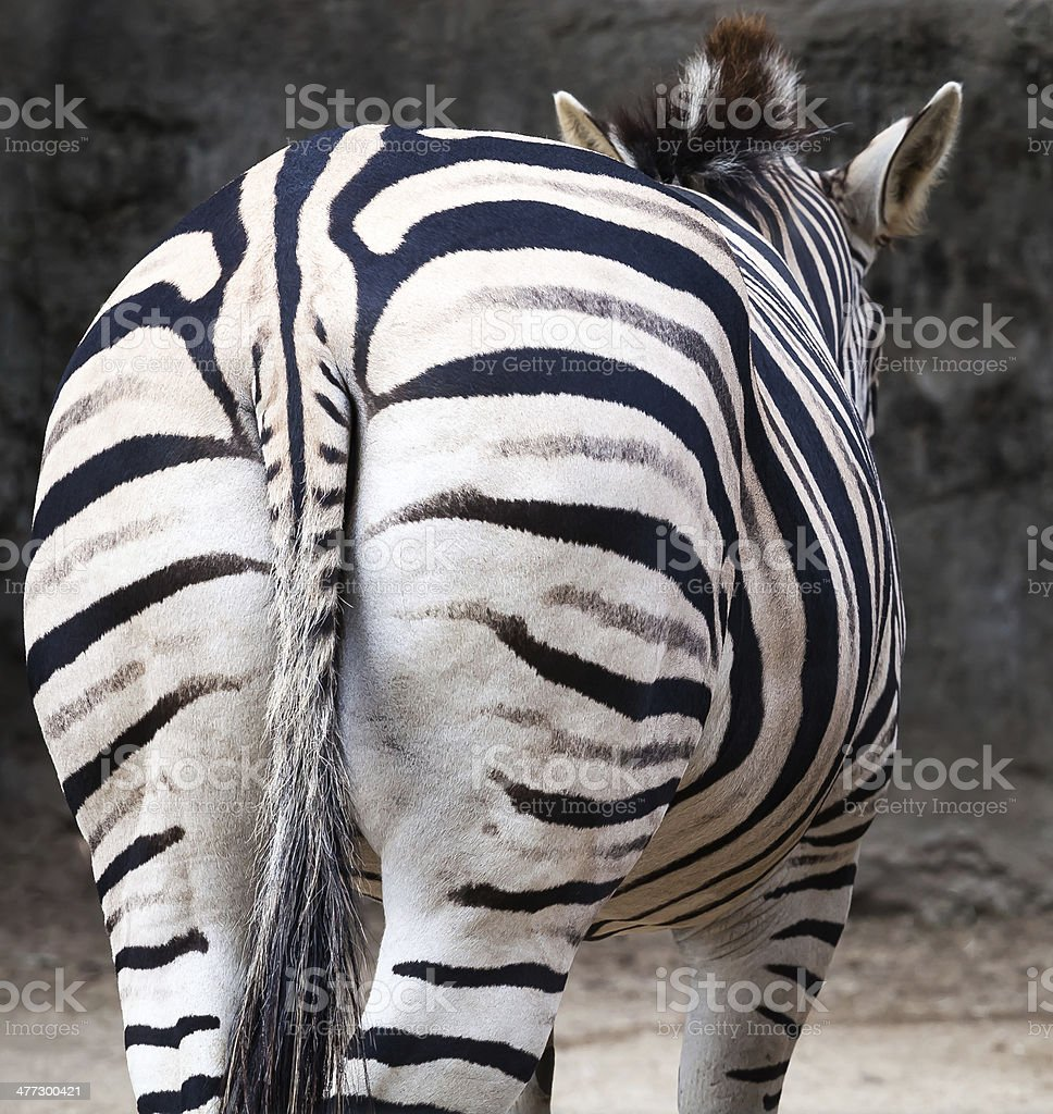 Zebra from Behind showing Striped Rear and Tail stock photo