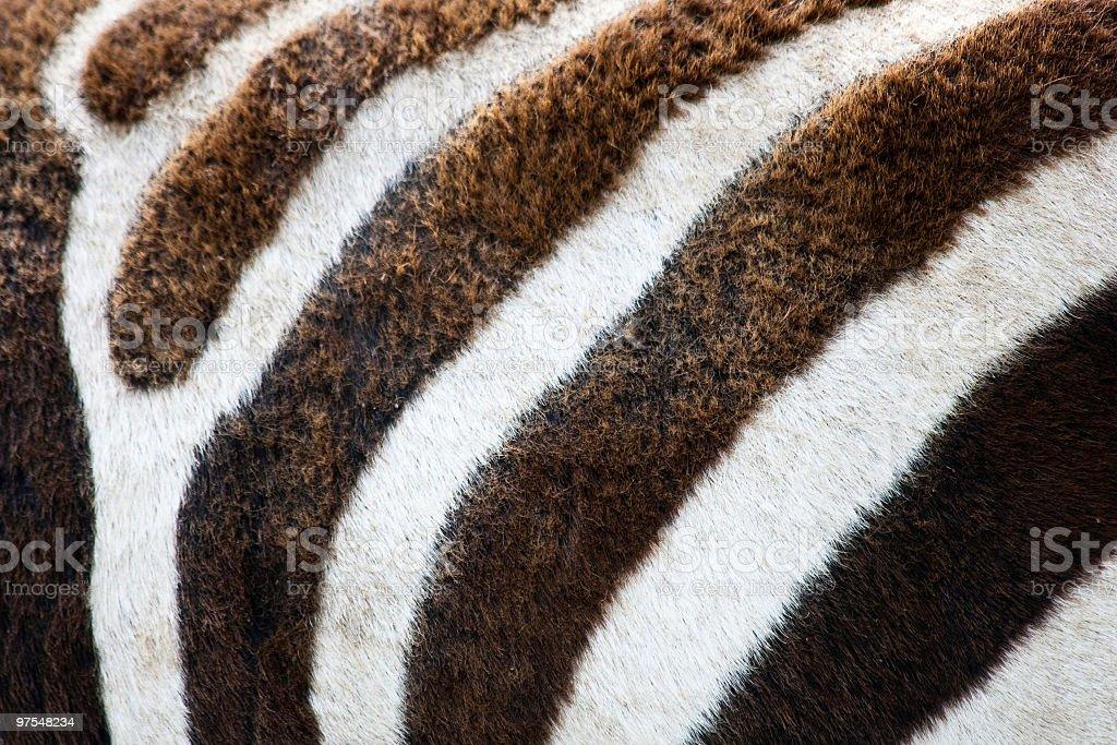 Zebra Fur Close-up royalty-free stock photo