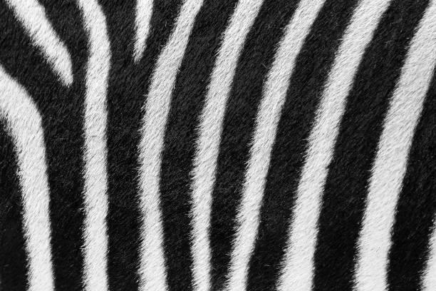 zebra fur - zebra stock photos and pictures