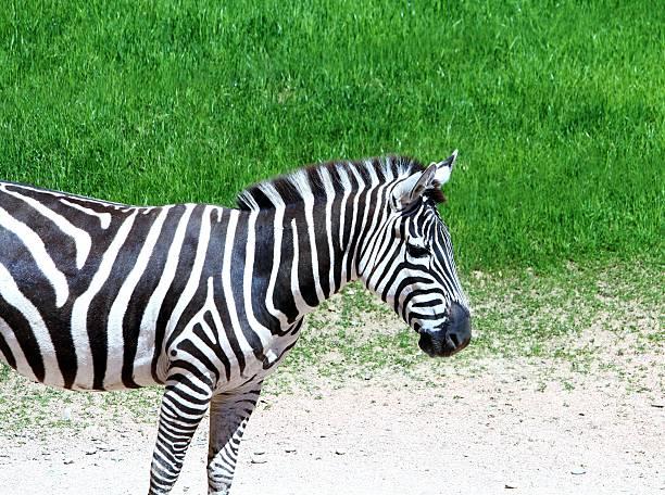 Zebra garden park stock photo