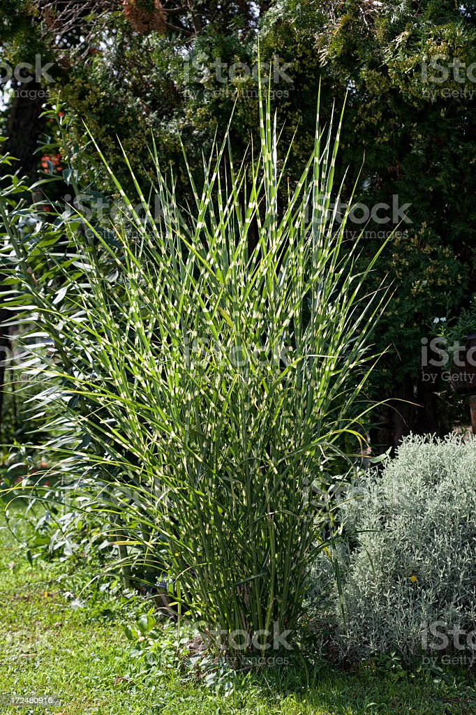 Zebra grass royalty-free stock photo