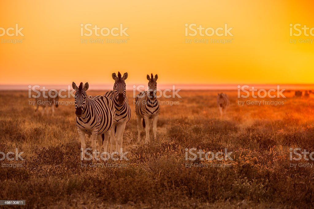 Zebra grazing at sunrise in Etosha, Namibia stock photo