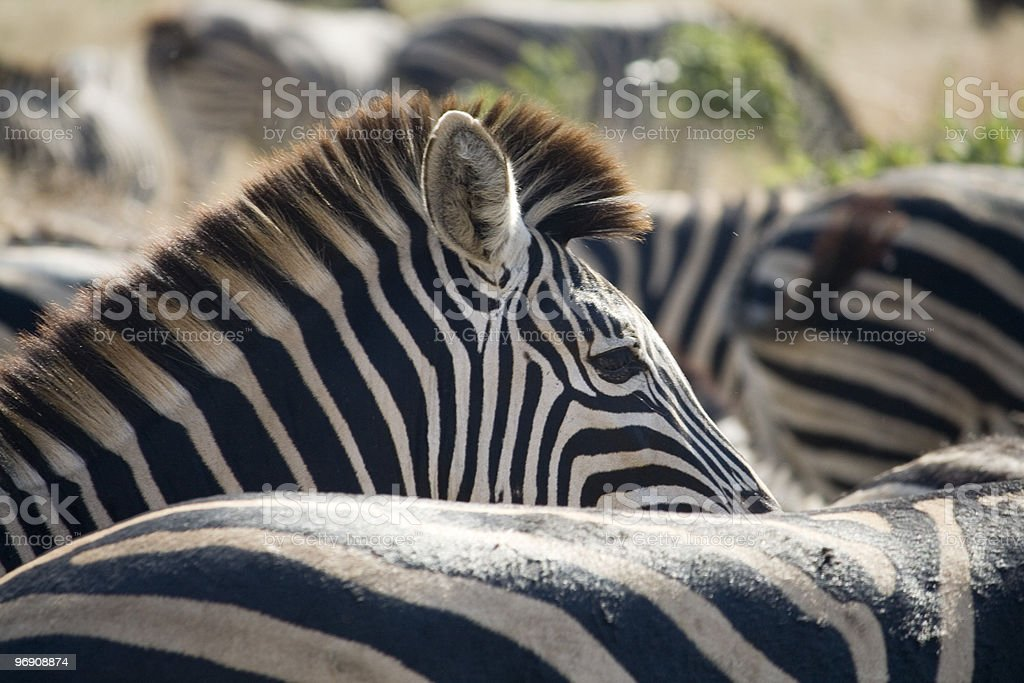 Zebra Head and Mane royalty-free stock photo
