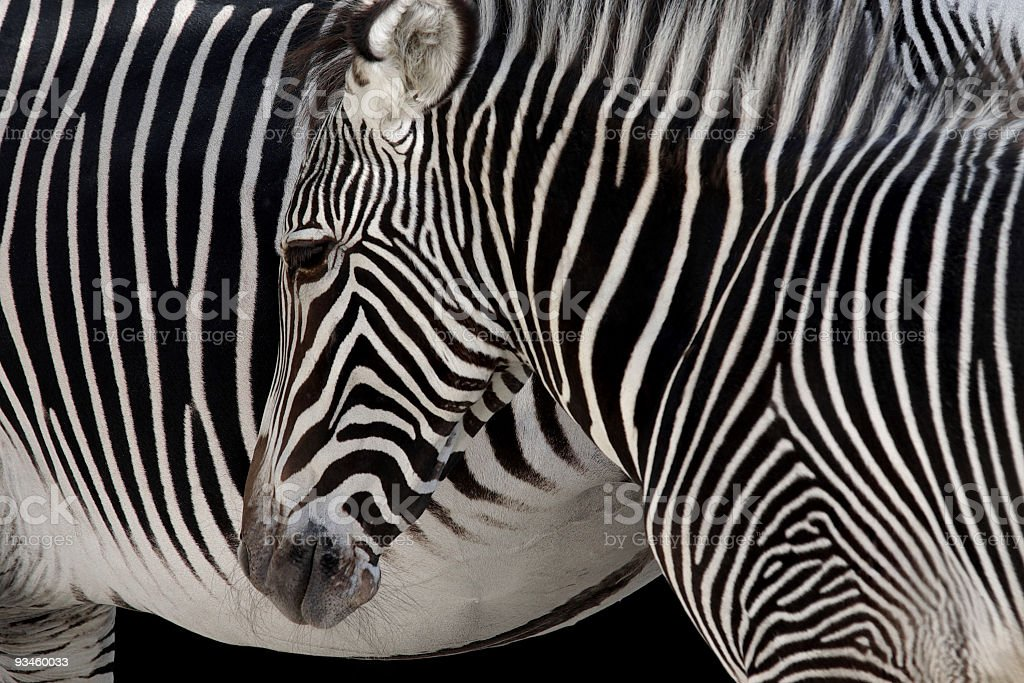 Zebra Head royalty-free stock photo