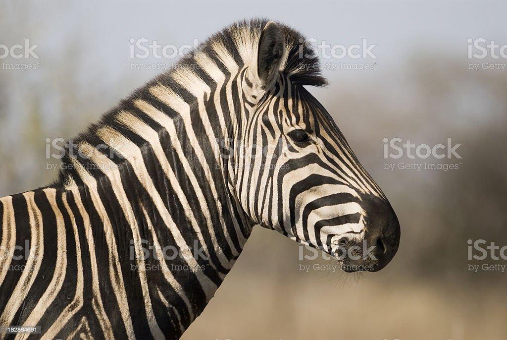 zebra head side profile royalty-free stock photo