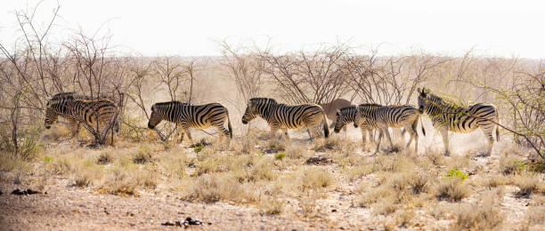 Zebra heading to the waterhole stock photo