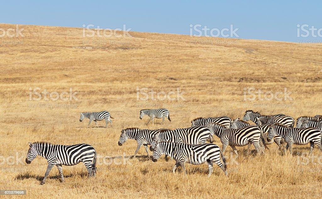 Zebra Herd and Golden Grasslands of the African Savanna foto de stock royalty-free