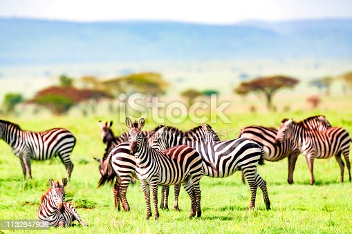 Zebra herd at wild - resting and watching - filtered
