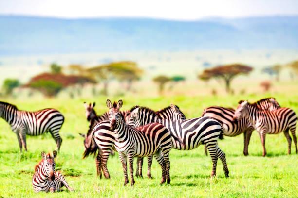 zebra herd at wild - resting and watching - pianura foto e immagini stock