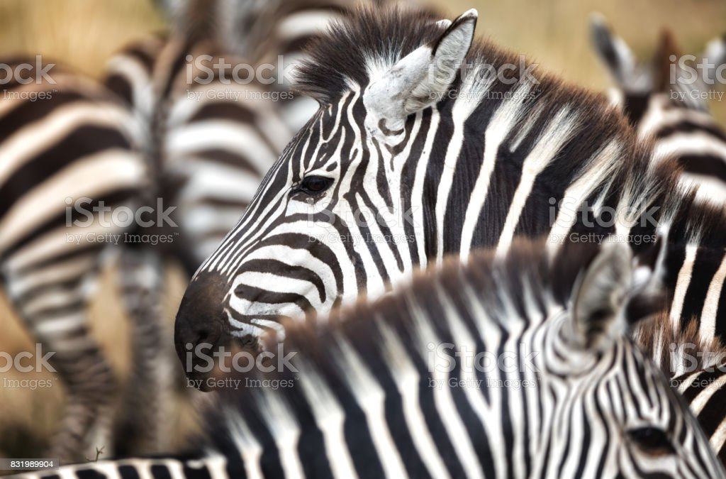 Zebra herd closeup stock photo