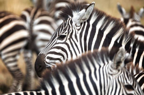 Zebra herd closeup Closeup of a herd of Grevys Zebra in the Masai Mara, Kenya, with focus on animal in the centre of the group. wildebeest running stock pictures, royalty-free photos & images
