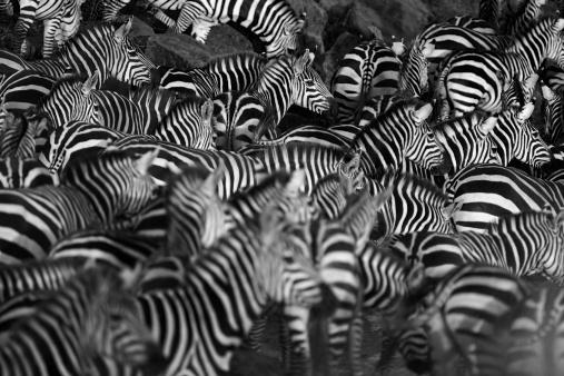 Zebra Manada - Fotografias de stock e mais imagens de Animal