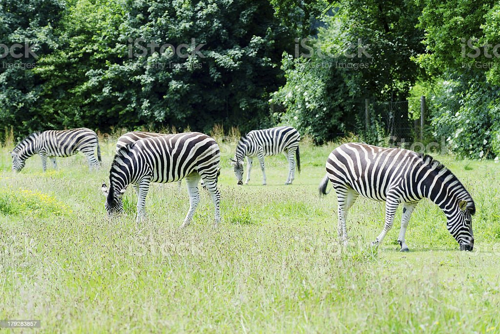 Zebra herd royalty-free stock photo