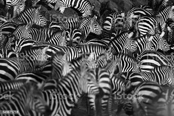 Zebra herd picture id545671718?b=1&k=6&m=545671718&s=612x612&h=il8l1p9zvlotuclnatyntb6samodndvgs2byqewtw0c=