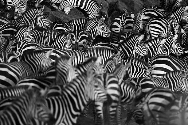 Zebra herd Zebra herd waiting on the bank of the Mara river, Kenya east africa stock pictures, royalty-free photos & images