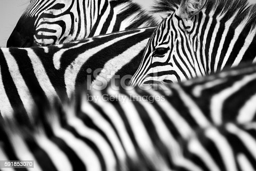 istock Zebra herd 591853070