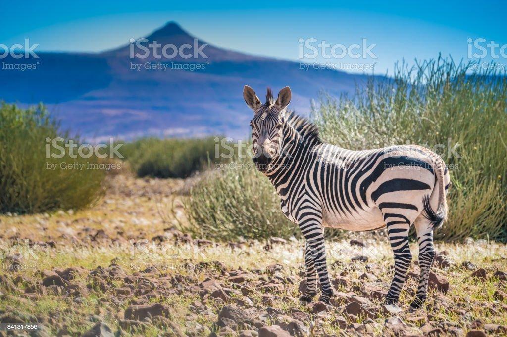 Zebra herd roaming  stunning volcanic landscapes, Palmweg, Kunene, Namibia stock photo