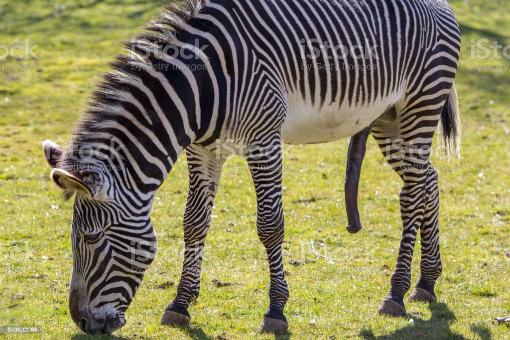 Zebra, hung like a donkey, sexually aroused. stock photo