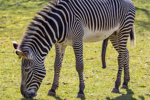 Zebra Hung Like A Donkey Sexually Aroused Stock Photo