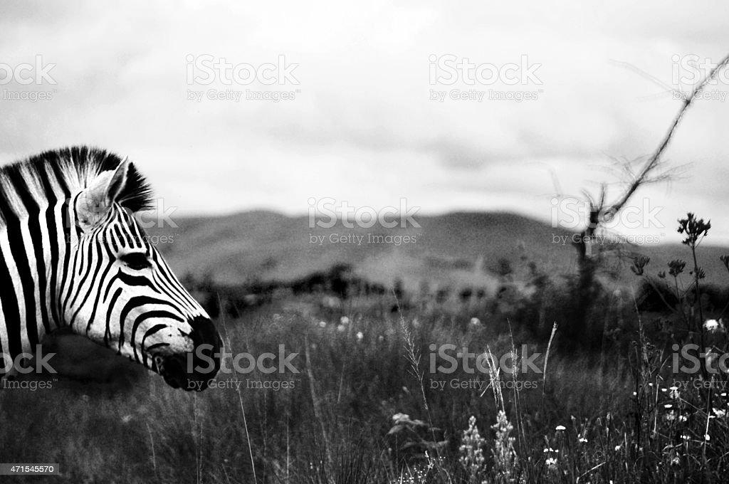 Zebra in african landscape stock photo