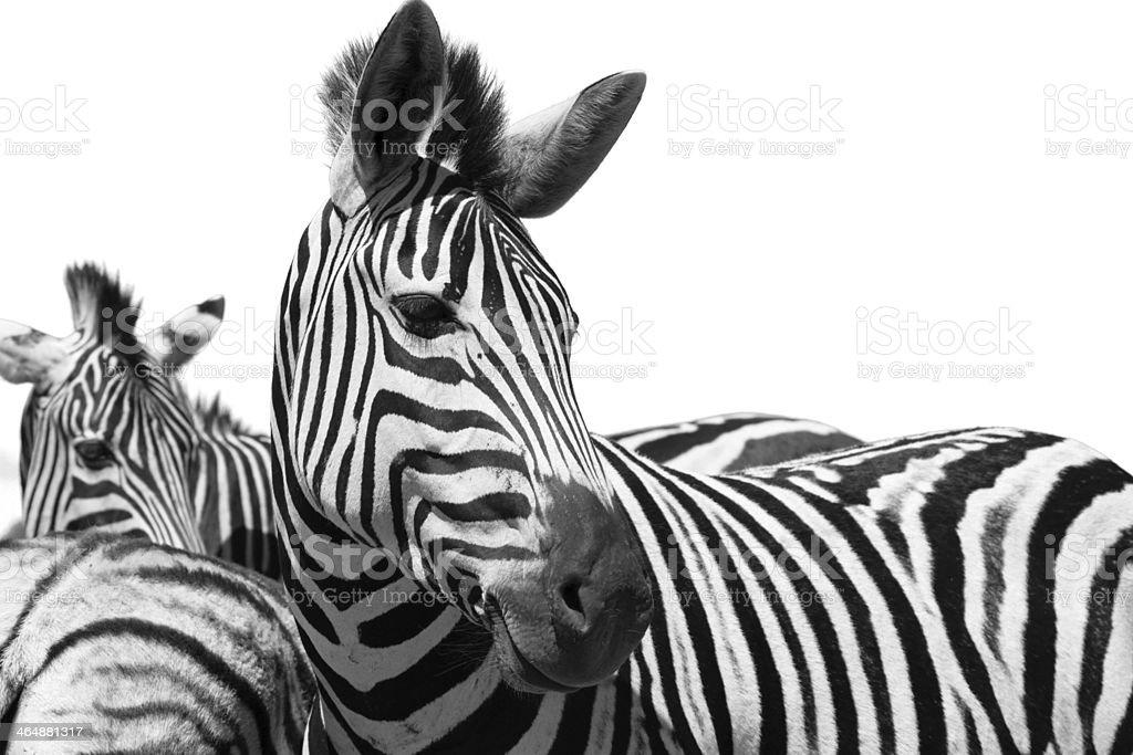 Zebra in black and white stock photo