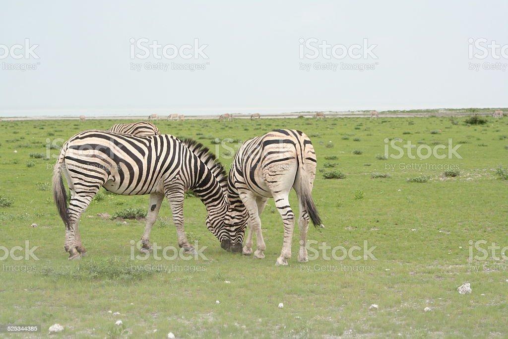 Zebra in Green Grassland, Wet Season, Etosha, Namibia, Africa stock photo