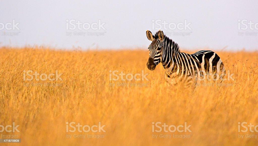 Zebra in high grass stock photo