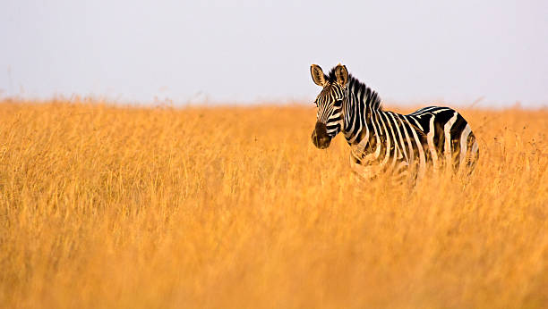 zebra in high grass - zebra stock photos and pictures