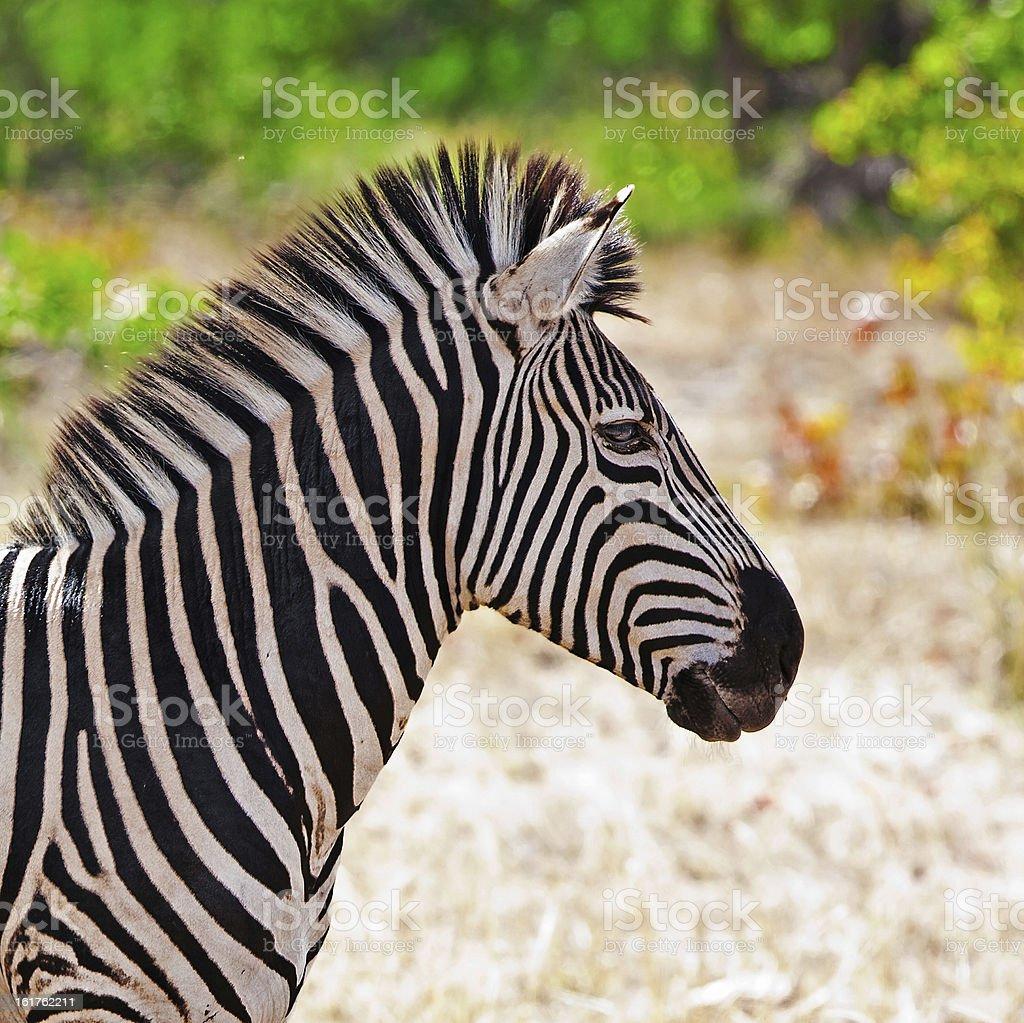 Zebra in Kruger National Park royalty-free stock photo