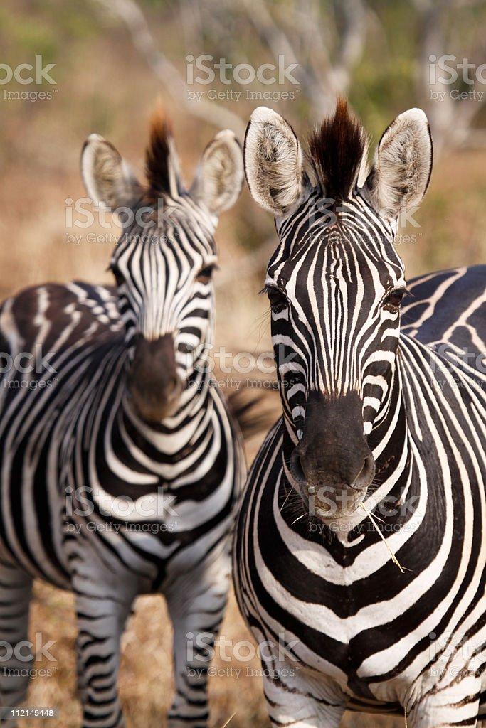 Zebra in Kruger Park, South Africa stock photo