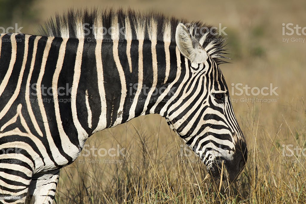Zebra in Kruger Park, South Africa royalty-free stock photo