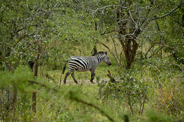 Zebra In Lake Mburo National Parc stock photo