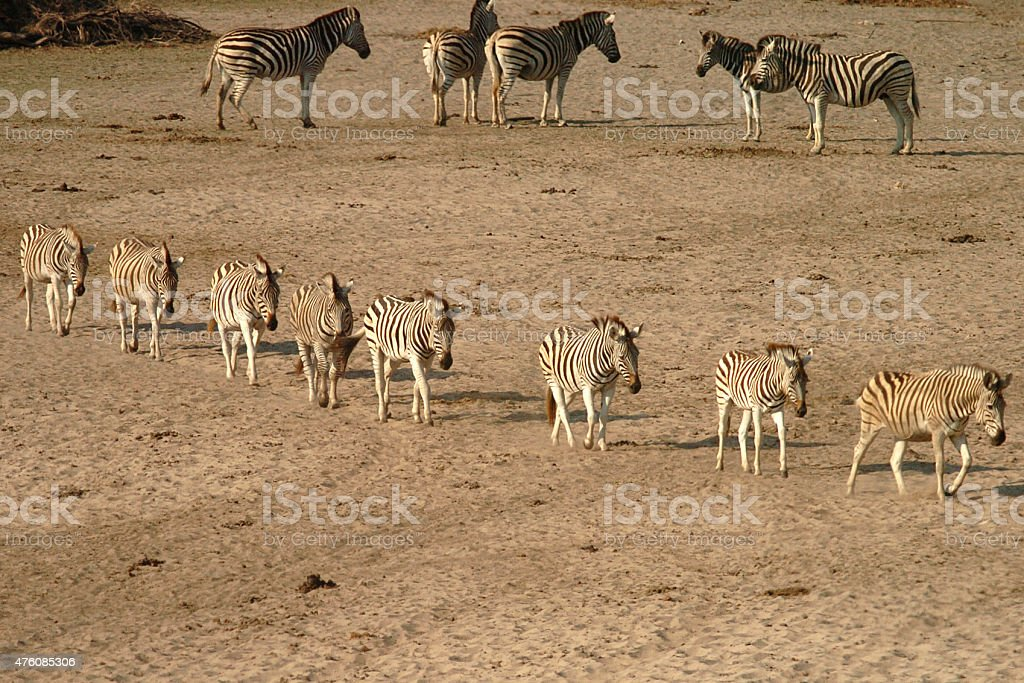Zebra in single file stock photo