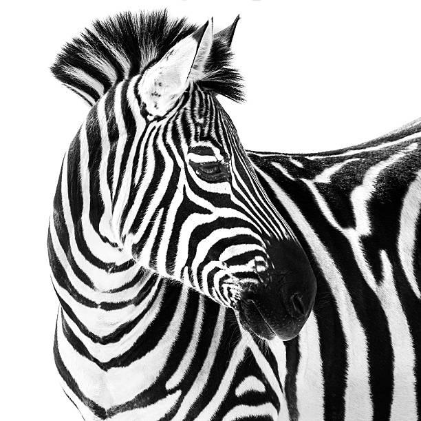 zebra in snow ii - zebra stock photos and pictures