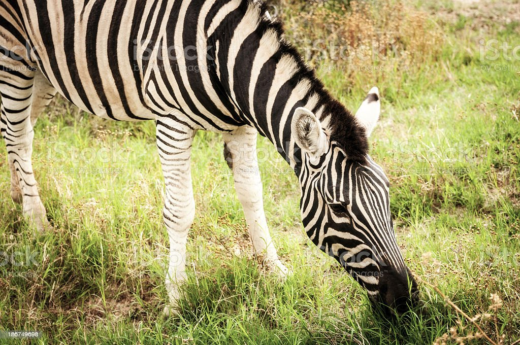 Zebra in South Africa Eating Grass royalty-free stock photo