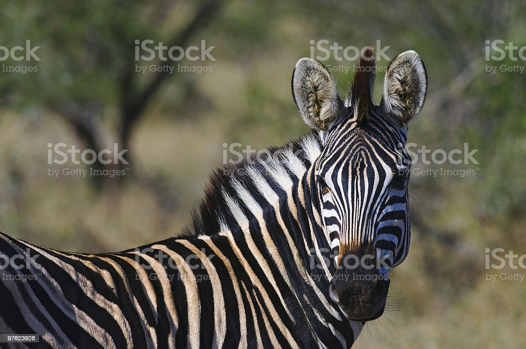Zebra in South Africa royaltyfri bildbanksbilder