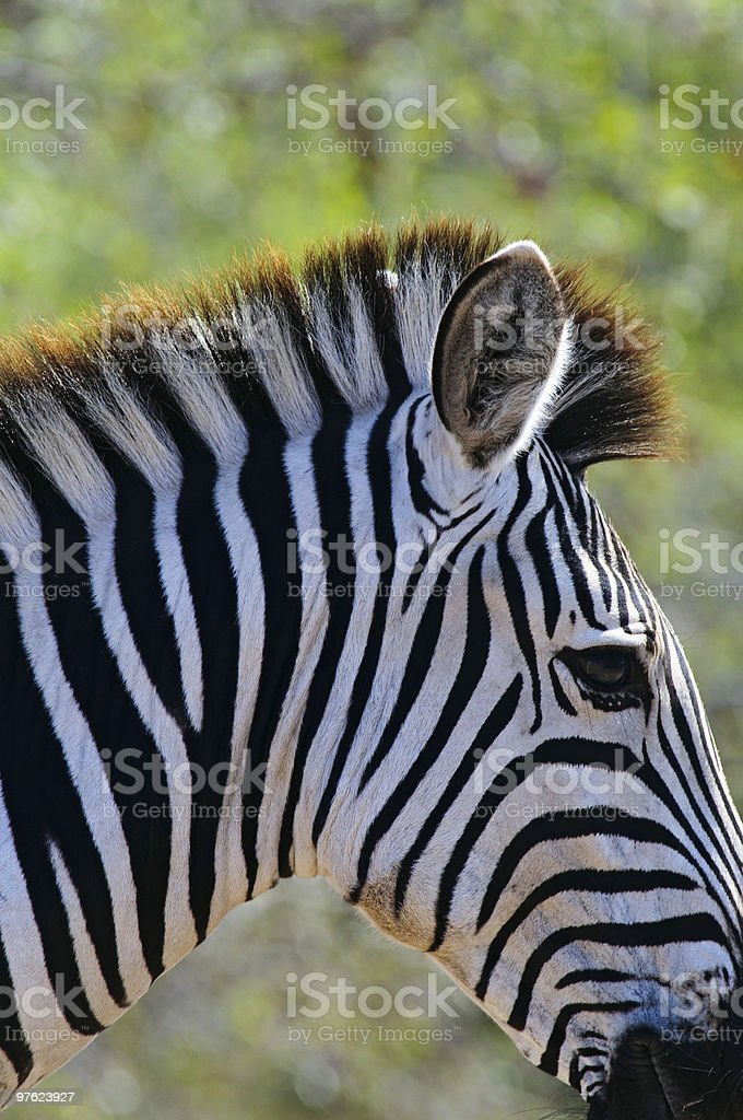 Zebra in South Africa royalty-free stock photo