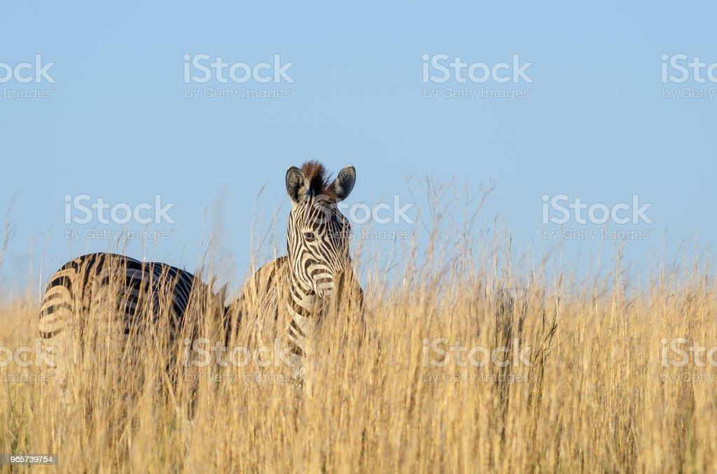 Zebra in hoog gras - Royalty-free Dierenkop Stockfoto