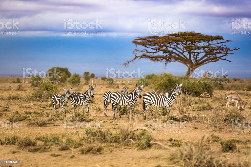 Zebra in the Africa stock photo