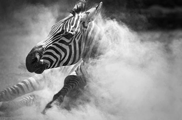 zebra em pó - padrões zebra imagens e fotografias de stock